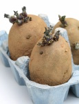 Chitting Potato
